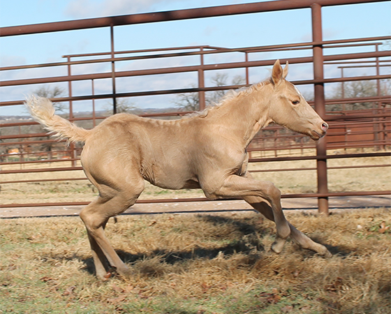Half-Sister to CD Diamond<br/>Dual Rey x Shiners Diamond Girl<br/>(Dam to CD Diamond) - 2017 Palomino Filly