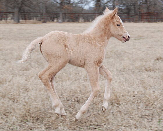 CD Diamond x SJR Smooth Gina - 2019 Filly
